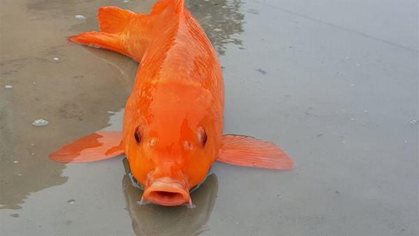 Nằm mơ thấy cá chép mắc cạn