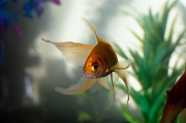 Nằm mơ thấy cá vàng mắc cạn