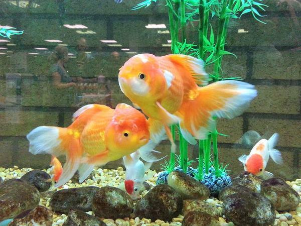 Nếu bạn mơ thấy một đàn cá vàng
