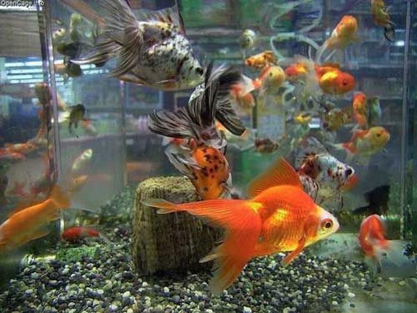 Nằm mơ thấy bắt được cá vàng