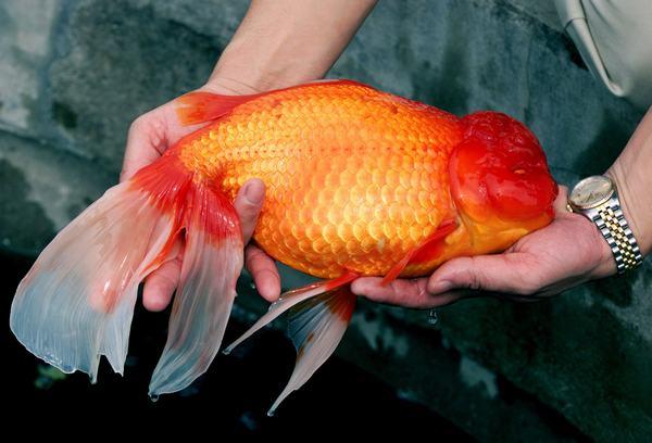 Nằm mơ thấy cá vàng khổng lồ