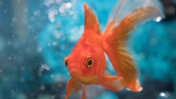 Nằm mơ thấy cá vàng đánh con gì?