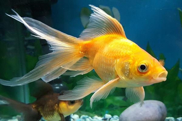 Nằm mơ thấy cá vàng đánh con gì | Giải mã giấc mơ cá vàng báo điềm gì?