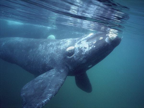 Nằm mơ thấy một con cá voi lưng gù