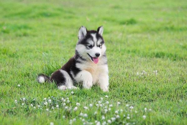 Chó lạ vào nhà là điềm dữ hay lành? là tốt hay xấu