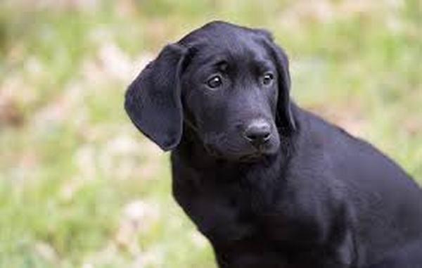 Nằm mơ thấy chó đen chết có sao không?