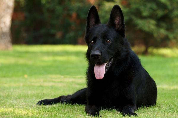 Nằm mơ thấy chó đen đuổi cắn, tấn công người khác