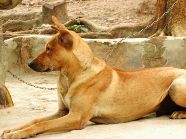 Nằm mơ mua chó vàng tốt hay xấu?