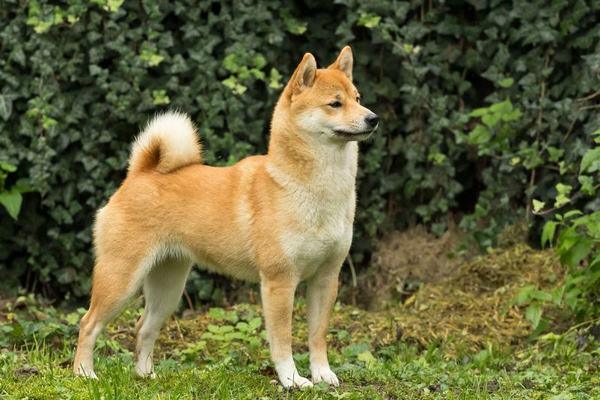Nằm mơ thấy chó rừng là hên hay xui?