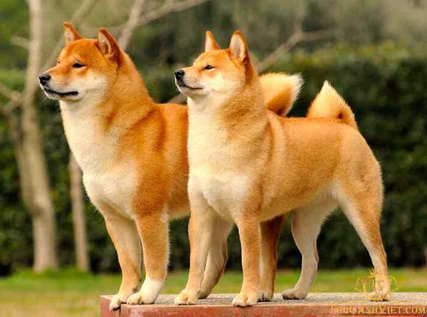 Nằm mơ thấy 2 con chó vàng báo điềm gì?