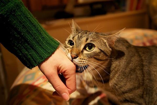 Nằm mơ thấy bị mèo cắn vào tay