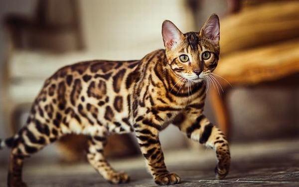Mèo là loài vật đứng thứ 4. Tuổi Mão thuộc hành Mộc và có mệnh Hỏa.
