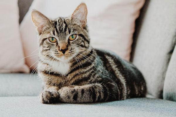 Ngủ mơ thấy mèo mướp tốt hay xấu?