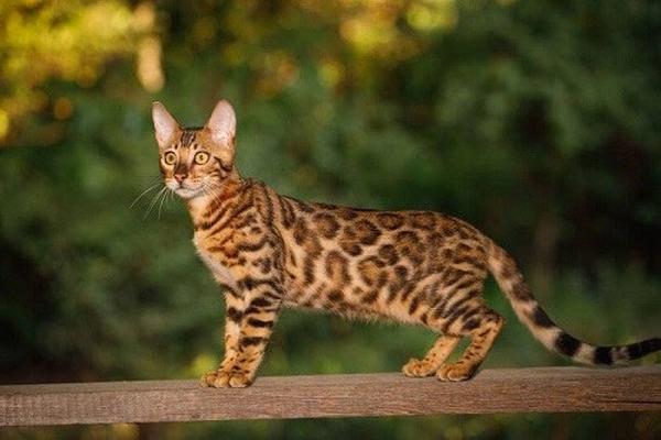 Nếu bạn mơ thấy mèo rừng đuổi theo mình về nhà