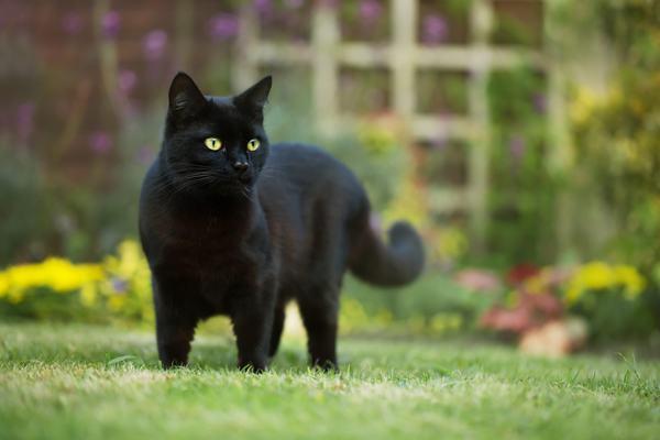 Nằm mơ thấy mèo đen nhà mình báo điềm gì?