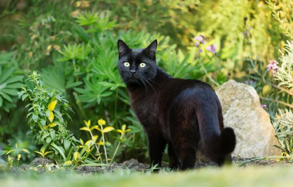 Mèo đen không hề mang lại sự tốt đẹp cho người mơ