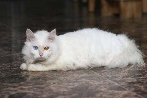 Mộng thấy mình biến thành mèo trắng