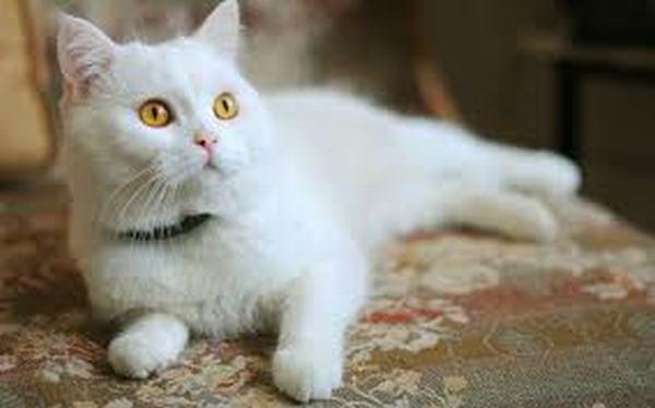 Nằm mơ thấy bán mèo lông trắng