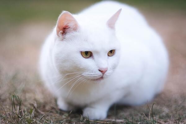 Nằm mơ thấy mèo trắng đánh con gì, số mấy?