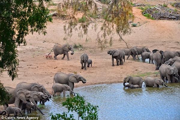 Mơ thấy đàn voi đang uống nước