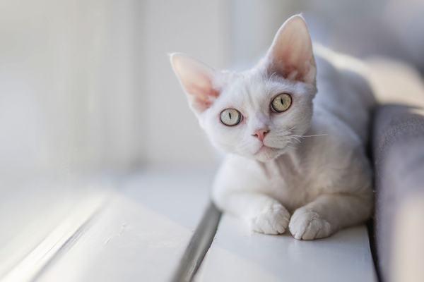 Ý nghĩa mèo trắng đến nhà