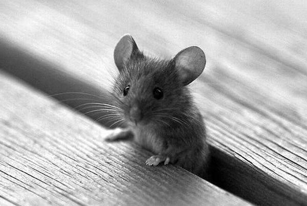 Nằm mơ thấy một đàn chuột cắn