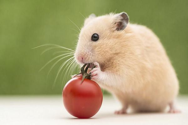 Ngủ mơ thấy chuột vàng ý nghĩa gì?