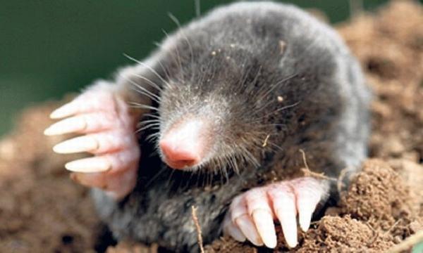 Giấc mơ thấy chuột chũi có hai xu hướng giải mã đối lập nhau.