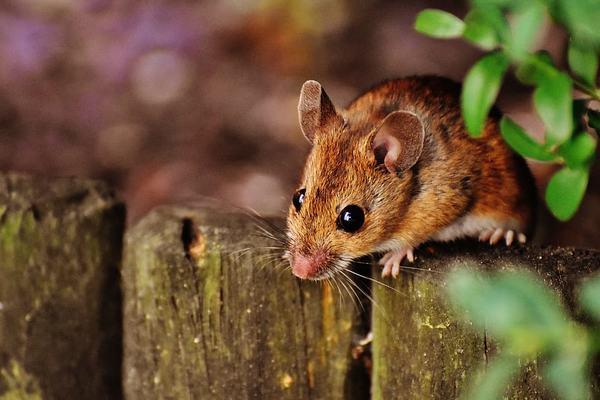 Nằm mơ thấy chuột bò lên người