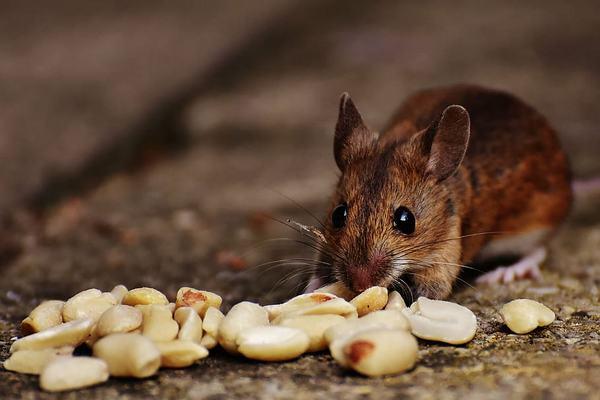 Nằm mơ thấy con chuột đang ăn