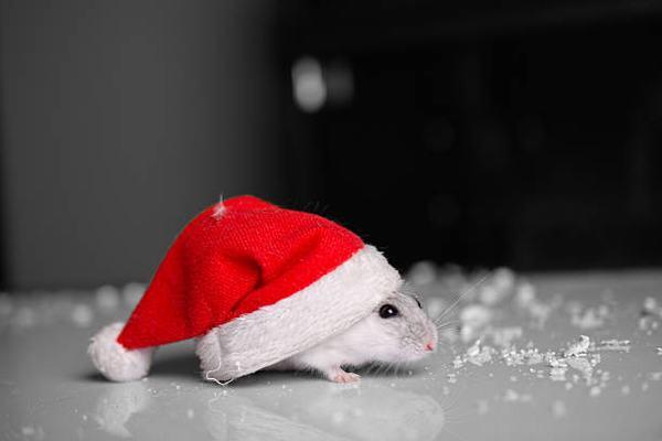 Theo tử vi phong thủy, loài chuột mang ý nghĩa gì?