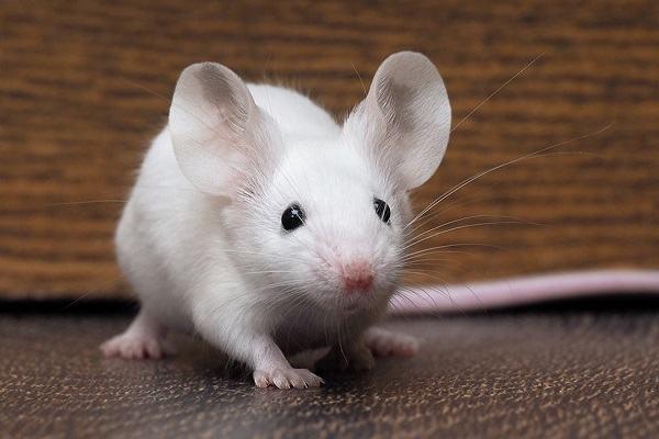 Nằm Mơ Thấy Chuột Đánh Con Gì | Giải Mã Giấc Mơ Thấy Con Chuột Báo Điềm Gì?