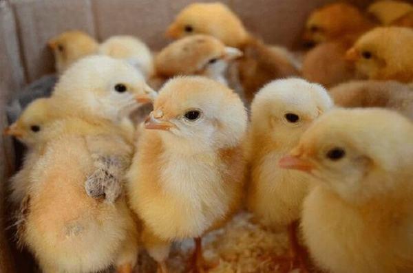 Nằm mơ thấy gà con là điềm gì?
