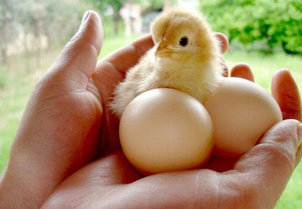 Mơ thấy trứng gà nở ra gà con