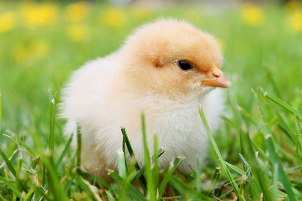 Nằm mơ thấy gà con đánh con gì?