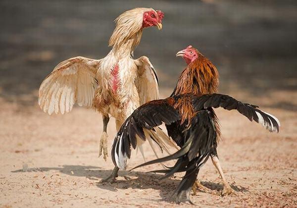 Hai con gà vô nhà đá nhau