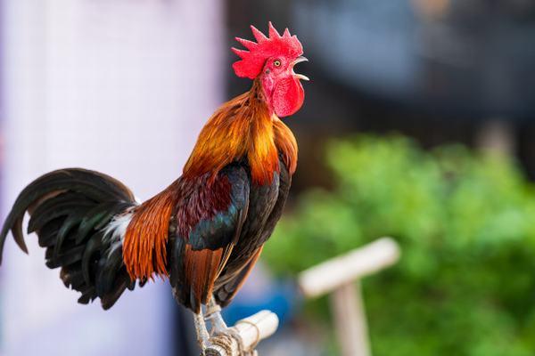 Nằm mơ thấy con gà là điềm báo hên hay xui?