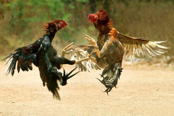 Nằm mơ thấy con gà chọi đang đá nhau