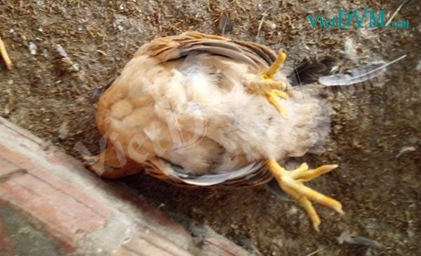 Nằm mơ thấy gà chết do dịch bệnh