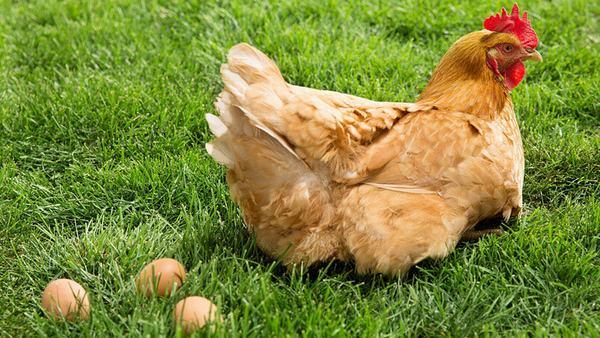 Nằm mơ thấy gà mái đánh con gì?