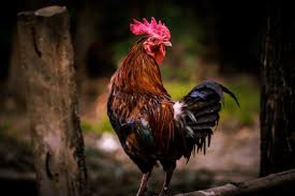 Nằm mơ thấy gà trống đánh con gì, số mấy thắng lớn?