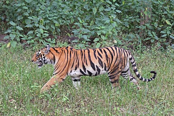 Nằm mơ thấy hổ đang ăn con mồi, mơ thấy hổ vồ, mơ thấy hổ đi lại