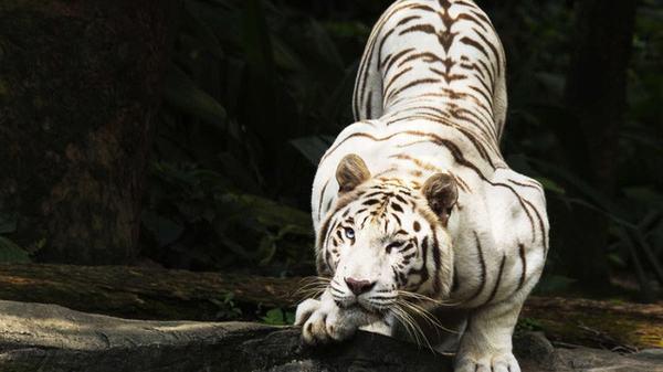 Nằm mơ thấy hổ trắng (bạch hổ)