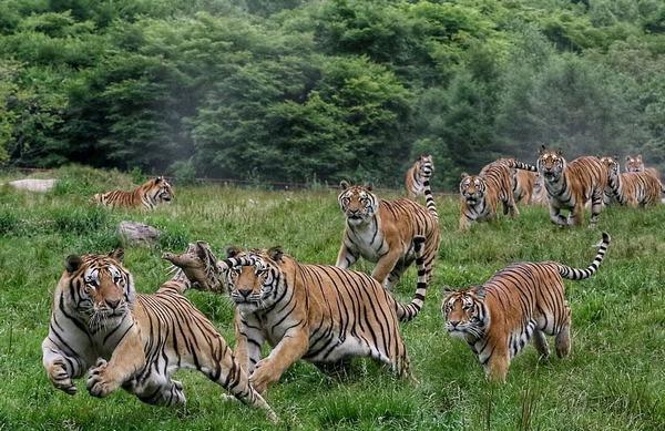 Nằm mơ thấy cả đàn hổ xông thẳng vào nhà