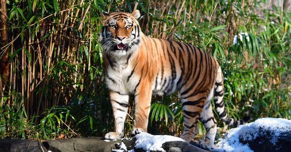 Nằm mơ thấy hổ đánh con gì số mấy chính xác?