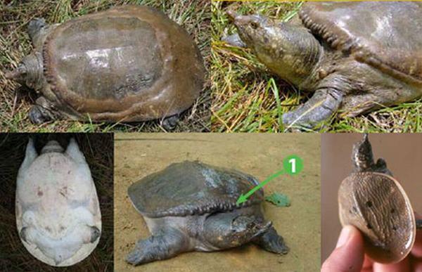 Nằm mơ thấy rùa và ba ba
