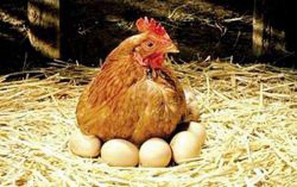 Nằm mơ thấy ổ trứng gà