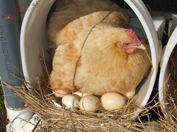Nằm mơ thấy gà đẻ trứng