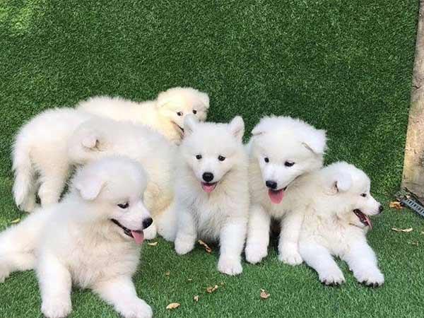 Chiêm bao thấy một đàn chó con toàn màu trắng