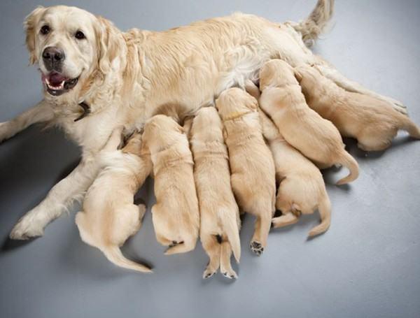 Ý nghĩa của giấc mơ thấy đàn chó con